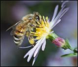 Abeja
