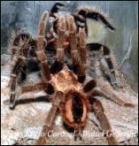 Arañas_copula