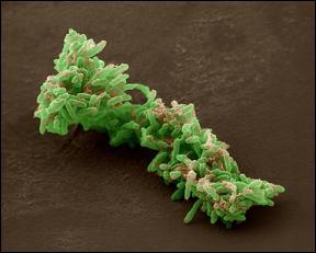 Bacteria_uranio_01