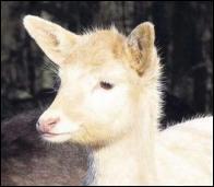 Bambi_albino