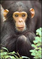 Chimpanze
