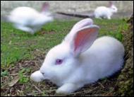 Conejos