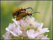 Escarabajos_reproduccion