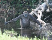 Gorila con herramientas