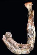 Mandibula_fosil