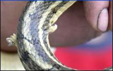 Serpiente_2_patas