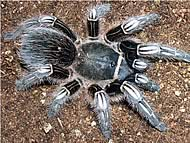 Tarantula_cebra